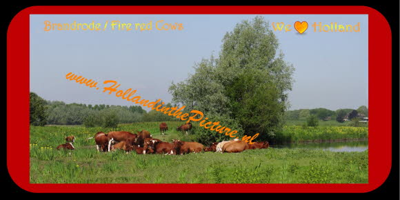 Brandrode runderen  Fire red Cows Panorama Poster 2 H 36 hitp
