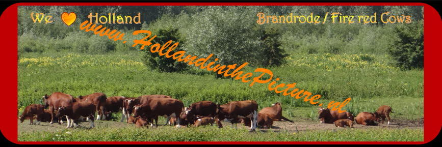 Brandrode runderen  Fire red Cows Panorama Poster H 35 hitp